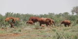 tsavo-elefanti