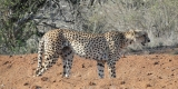 tsavo-ghepardo