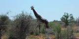 tsavo-giraffa