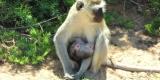 tsavo-scimmie