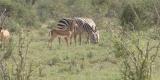 tsavo-zebre